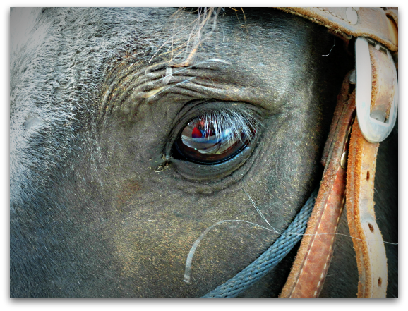 horse eye up close